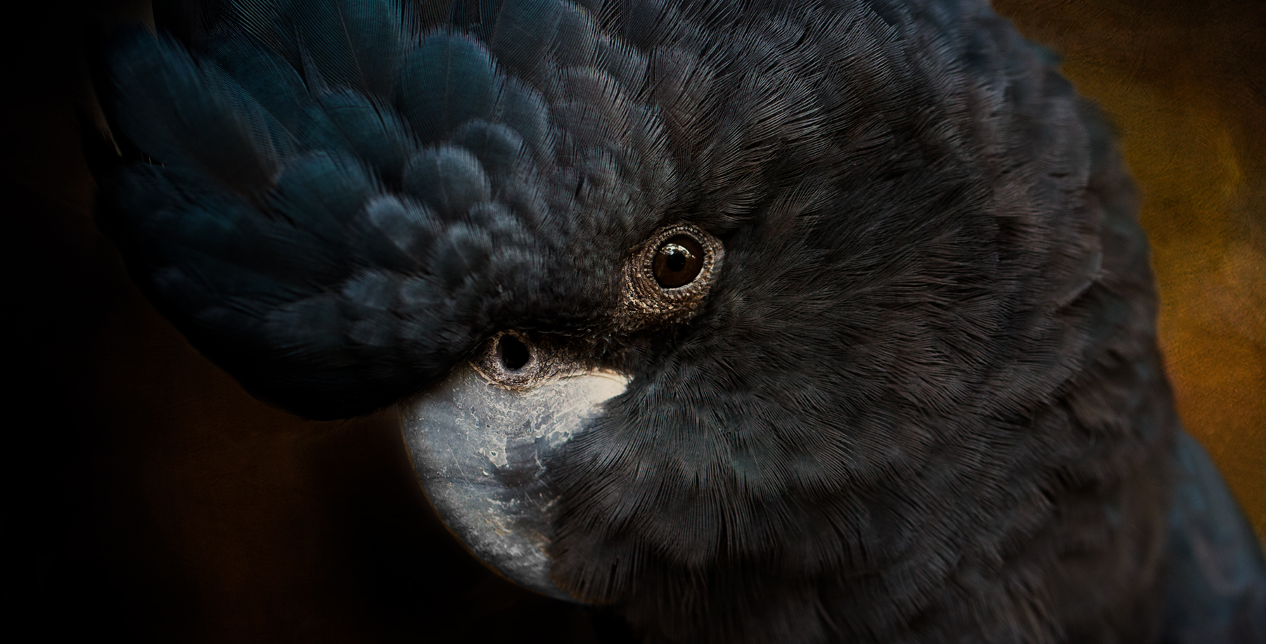 Redtailed Black Cockatoo - © Diana Andersen, Animalinfo