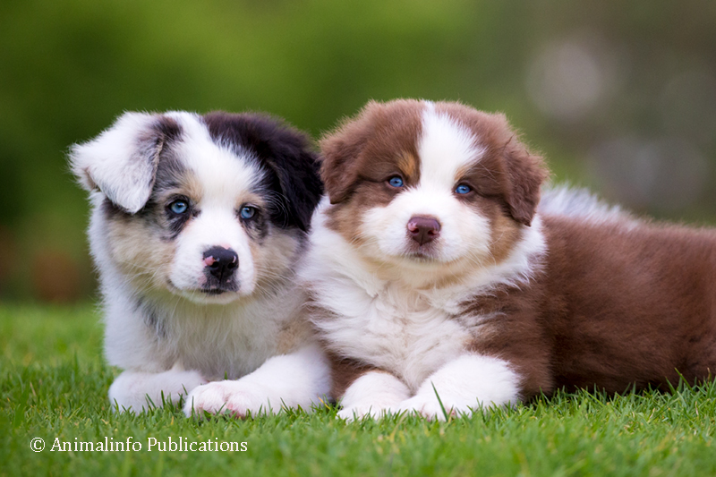 Blue merle and red tri-colour Australian Shepherd puppies
