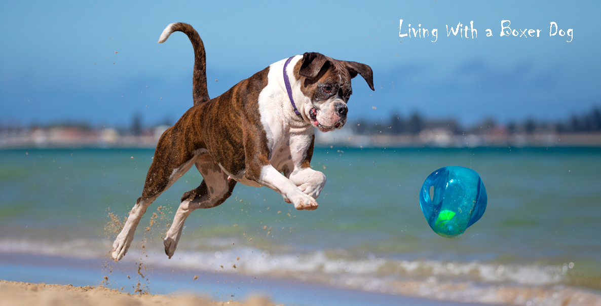 Boxer Dog playing on the Beach