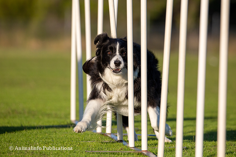 Border Collie doing agilty competition weaving
