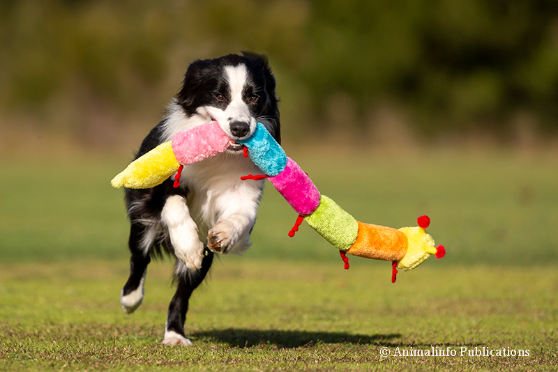 Healthy Border Collie playing