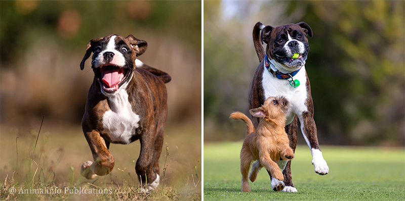 Boxer puppy and Boxer dog playing