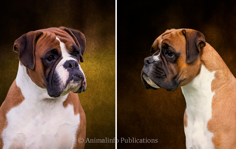 Boxers are handsome expressive dogs