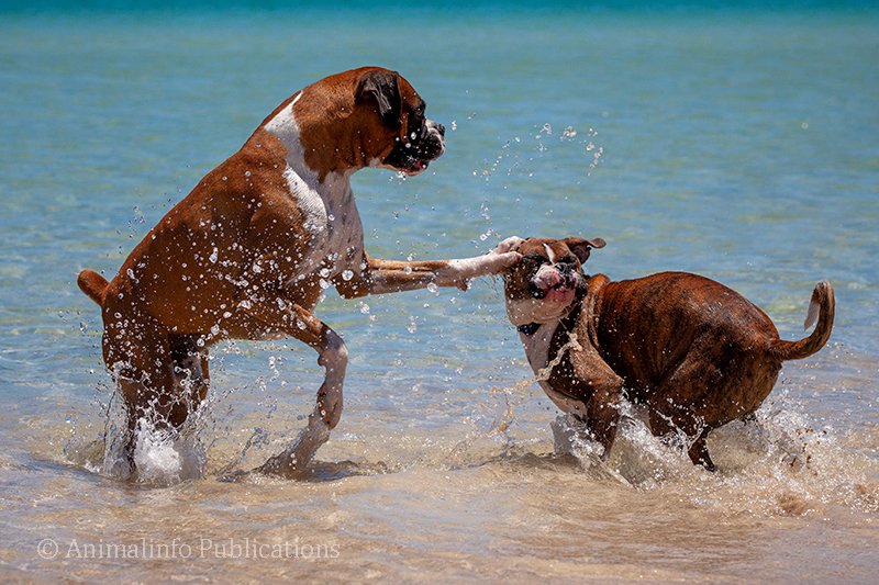 Boxer dogs playing in the water at the beach.