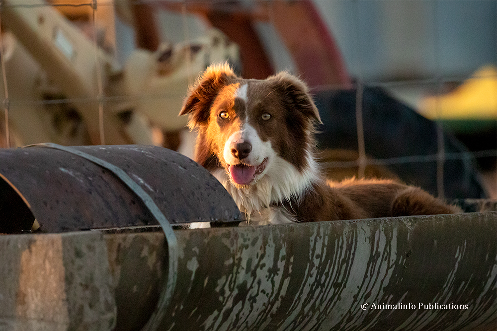 Working Border Collie cooling down after work.