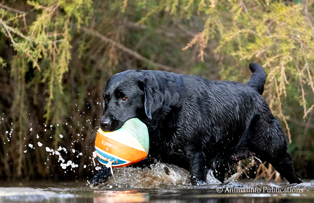 Black Labrador with her flat ball