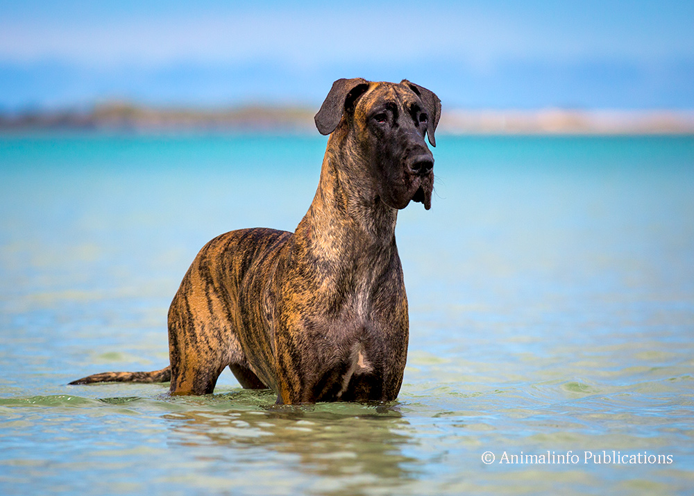 Brindle Great Dane at the beach
