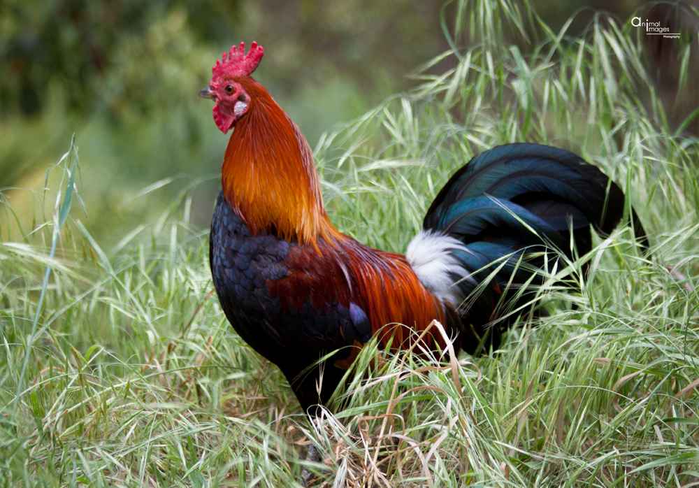 Red Jungle Fowl Rooster
