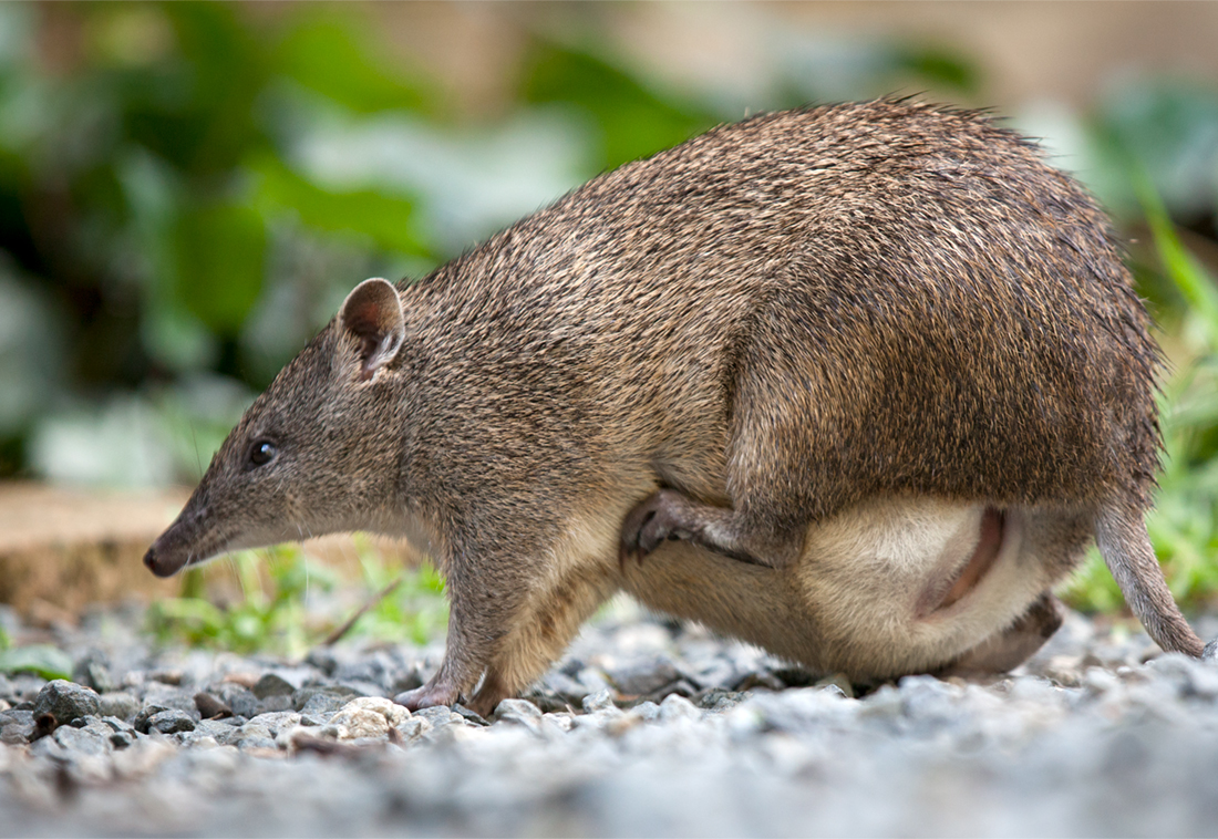 Southern Brown Bandicoot with pouch young in a residential area.