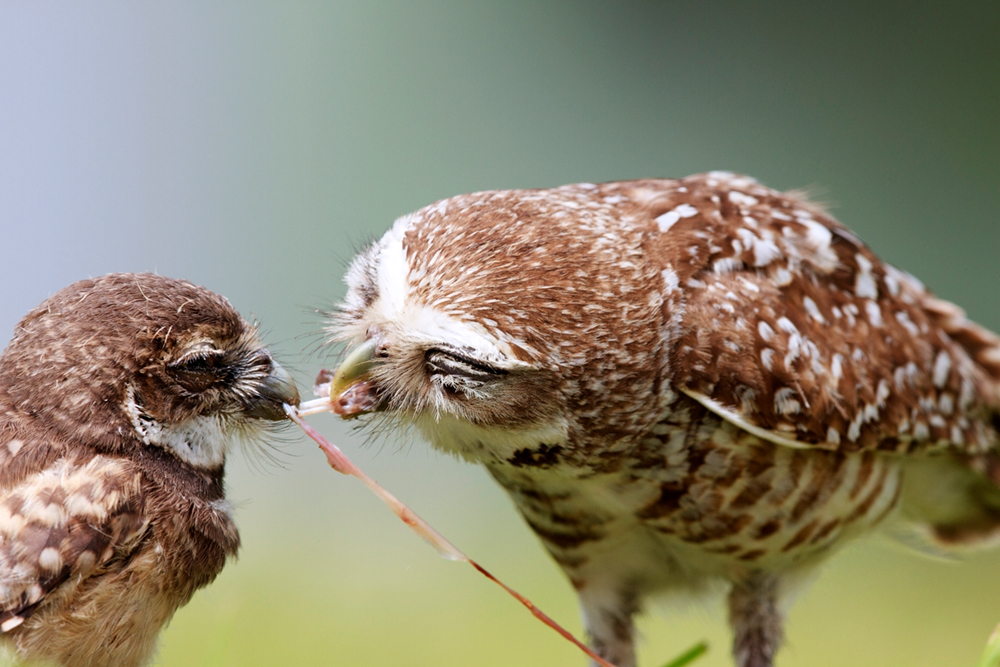 Owl feeding her chick