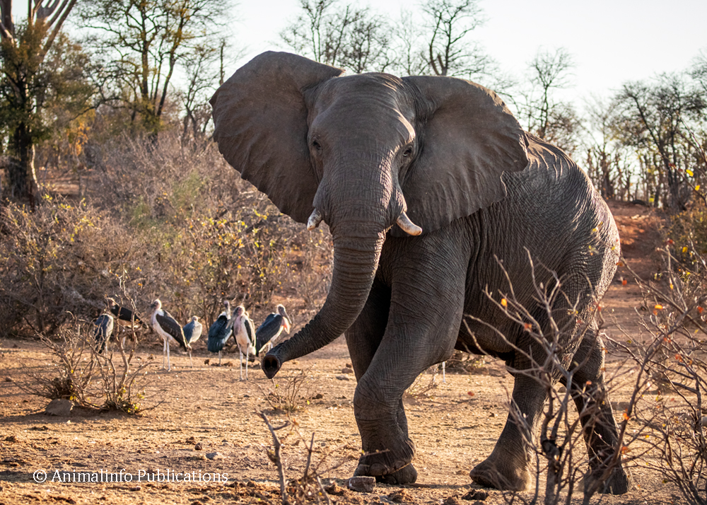 Elephant arriving at the waterhole