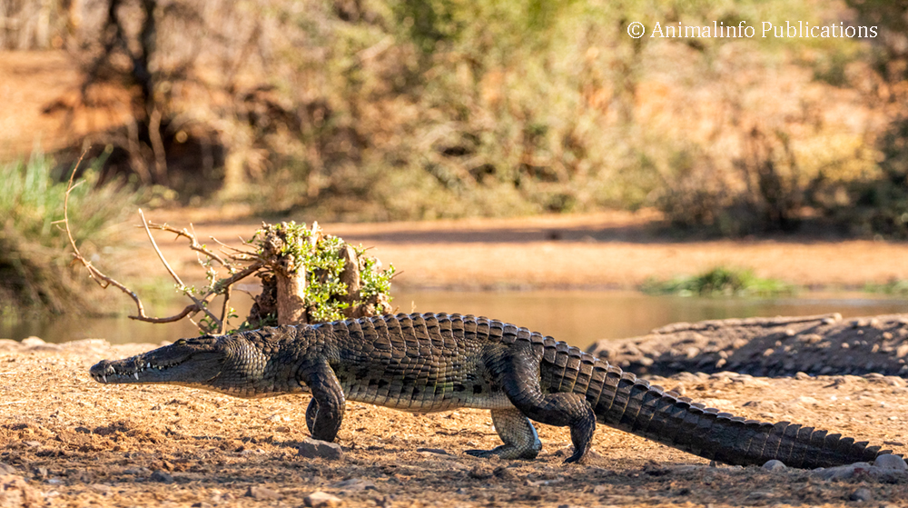 Nile Crocodile at the waterhole in front of the Siduli Hide