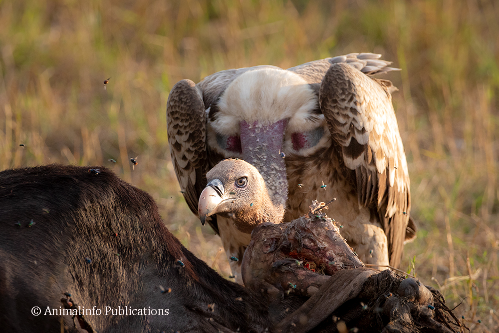 Rüppell's vulture on a rotting carcass