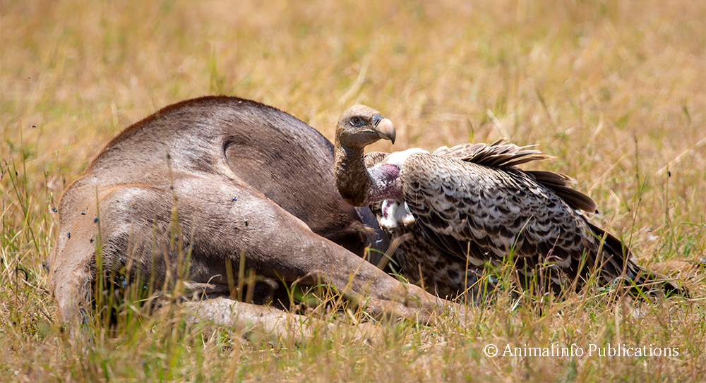 Rüppell's vulture waits at an unopened carcass