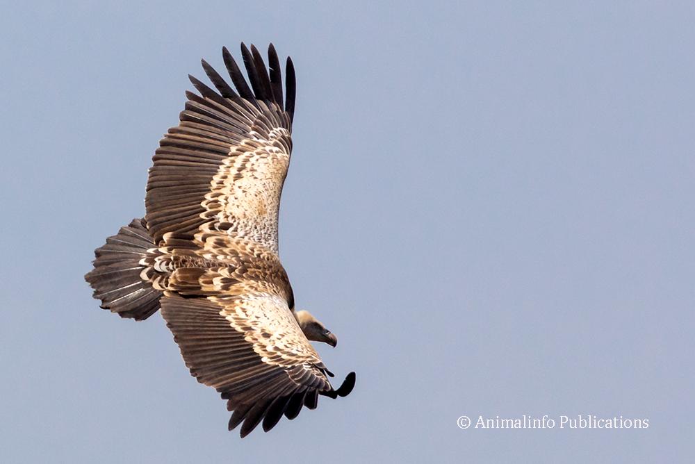 Rüppell's vulture in flight