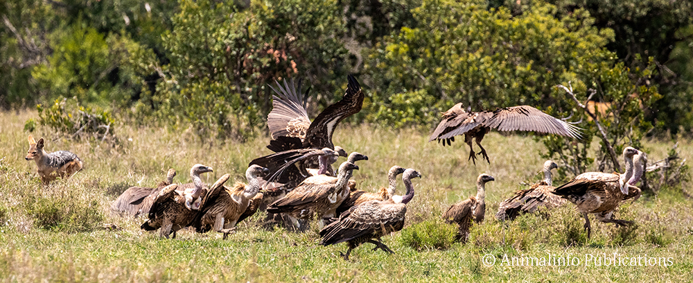 White-backed and Rüppell's vultures at a zebra kill.