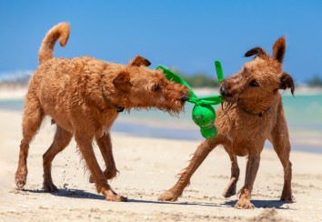 Irish terriers at the beach