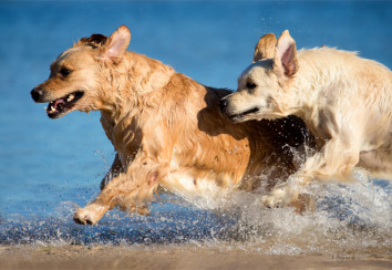 Healthy golden retrievers at the beach