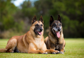 Belgian Malinois Shepherds in a down stay.