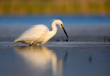 Little egret wading in an urban lake.
