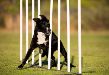 Agility dog going through the weave poles.