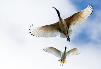 Australian white ibis in flight