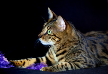 Bengal cat with a toy
