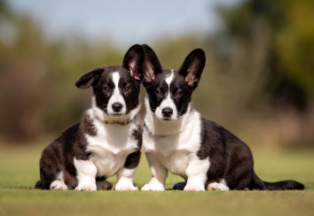 Two beautiful Cardigan Corgi puppies