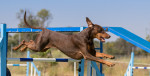 Agility, the Ultimate Dog Sport