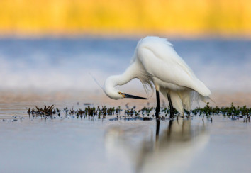 Egret preening while wading in water.