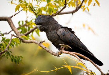 Naso red tailed black cockatoo
