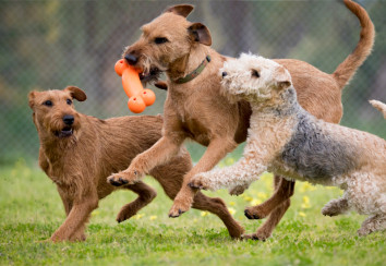 Two irish terriers and a lakeland terrier playing