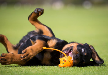 Rottweiler puppy playing with a toy
