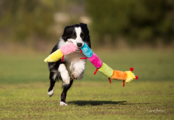 Border collie playing with a toy
