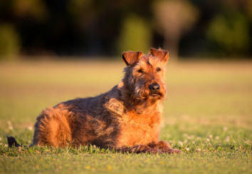Beautiful Elderly Irish Terrier