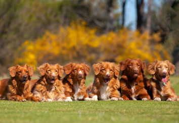 Nova Scotia Duck Tolling Retrievers in a down stay.