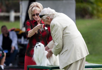 Dog judge examining a Maltese