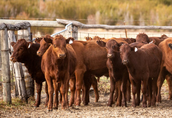Young Red Angus cattle