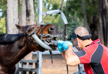 Equine dentist working on teeth
