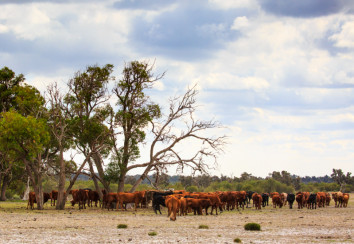 Cattle in a paddock