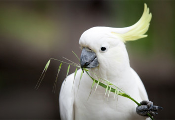 Sulphur-crested-cockatoo