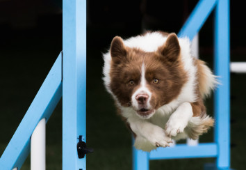 Agility dog jumping