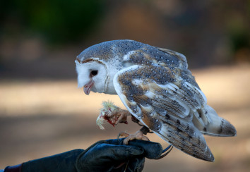 Barn owl feeding demonstration.