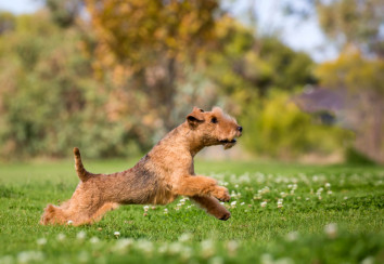Lakeland terrier playing