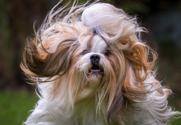 A shih tzu with full coat flying around