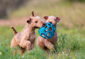 Lakeland terriers playing