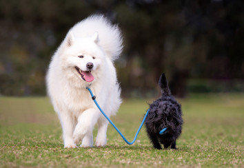 Affenpinscher walking a Samoyed