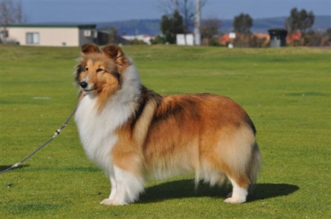 Multi Royal BIG / Multi BIG / Multi BIS Winner - Aust CH Ambermoon Sweet Georgia
