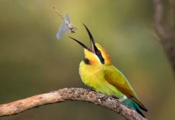 Rainbow bee eater catching a dragonfly