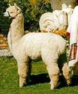 Australian Alpaca Association Ltd